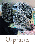 Hedgehog-care-rescue-sanctuary-orphans